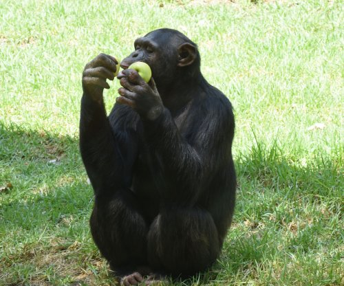 Common human virus blamed for deaths of chimpanzees
