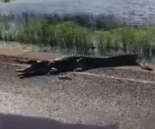 Man finds crocodile camped out at the edge of flooded road