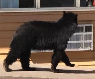 Black bear looks in Tennessee hotel windows, wanders into room