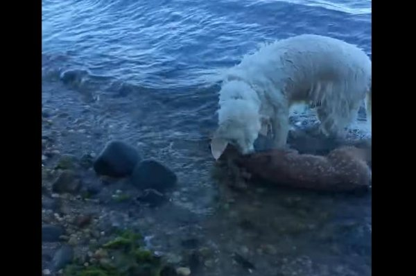 dog water watch dog rescues struggling deer fawn drags it to shore upicom