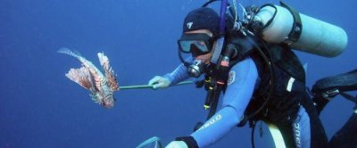 War on invasive lionfish in Atlantic waters yields first good news