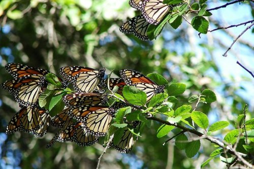 Texas sees dwindling number of butterflies