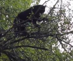 Bear perches on tree branch over heads of oblivious racing cyclists
