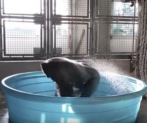 Gorilla spins, dances in pool at Dallas Zoo