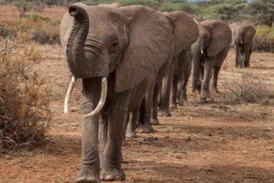 Elephants take more direct paths through dangerous territory