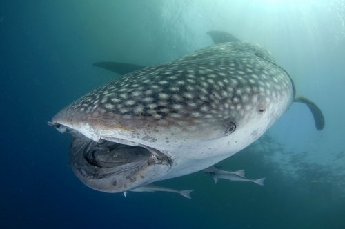 Cold War nuclear bomb tests help scientists measure age of whale sharks