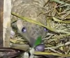 Baby pangolin and rescued mother released into the wild