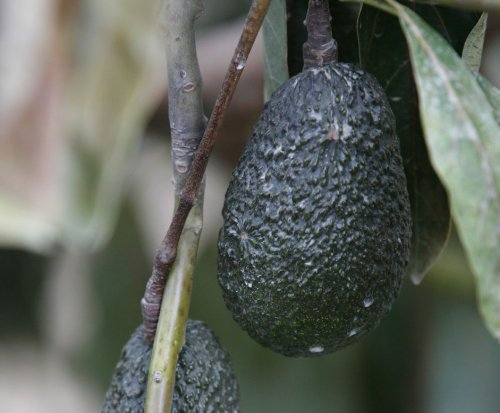 Henry Avocado issues recall for possible listeria contamination