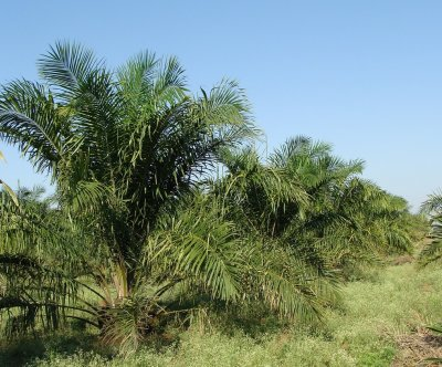 Land prep for palm oil plantations does the most environmental damage