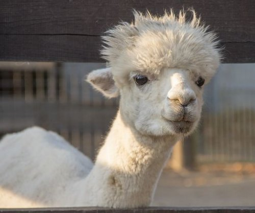 Llama antibodies may fight COVID-19 in humans, researchers say