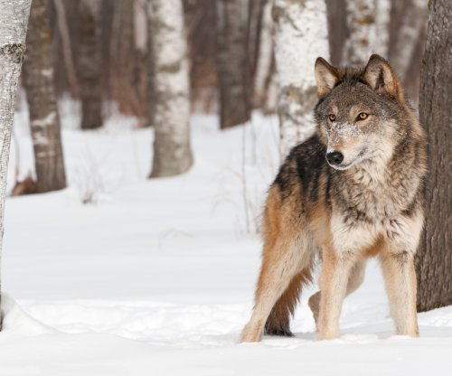 Gray wolf confirmed in Grand Canyon