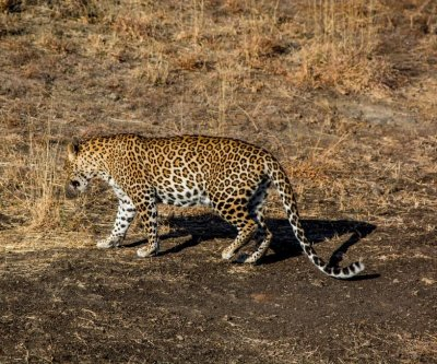 Wild leopard rescued from 50-foot well in India