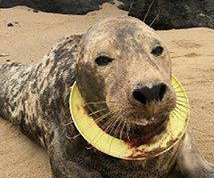 Seal found with Frisbee around neck freed after rehabilitation