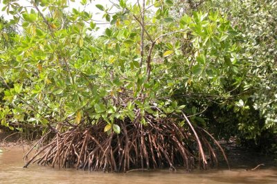 Healthy mangroves can protect against climate change
