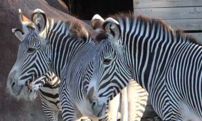 Science explains why zebras have stripes
