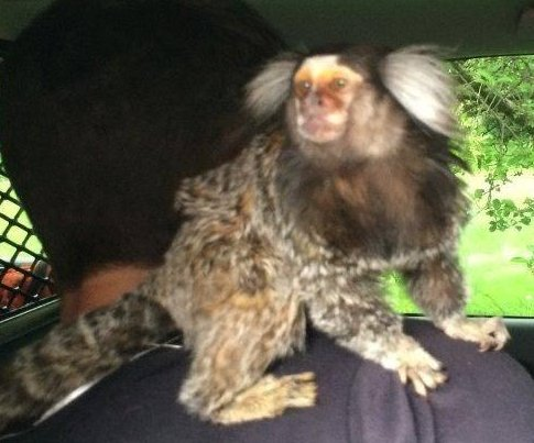 Police: Man fleeing crash scene found with monkey on his back