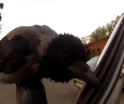 Confused crow tries to eat rubber lining from car door
