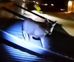 Wyoming officer climbs onto metal roof to rescue stranded deer