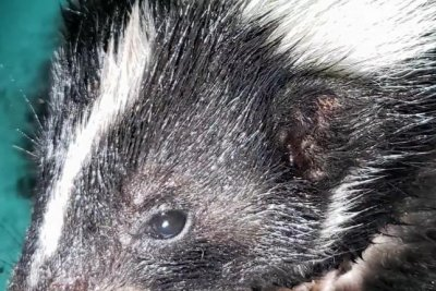 Walmart store evacuated when skunk wanders inside