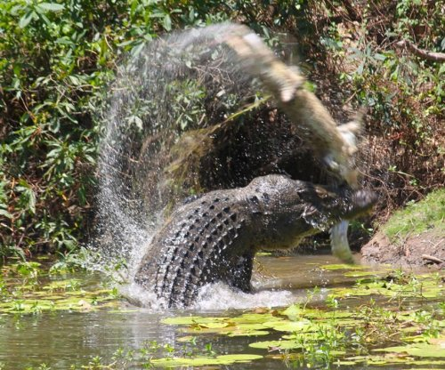 Photos show giant crocodile devouring another crocodile