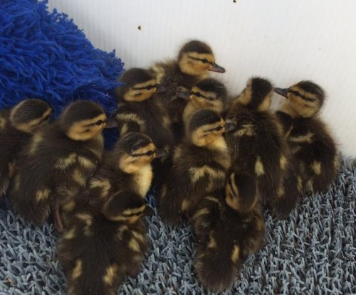 Canadian animal center takes in 16 orphaned baby ducks in one day