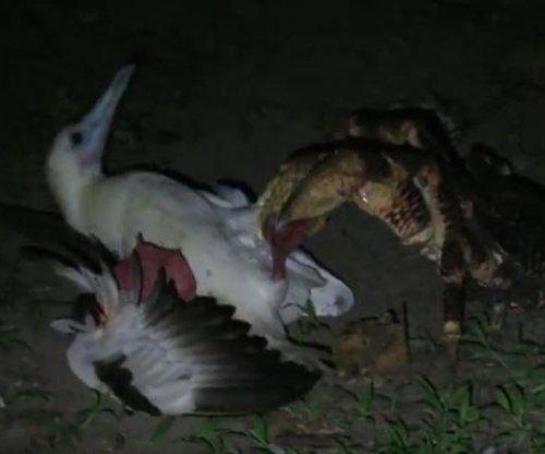 Biologist records rare sighting of giant crab hunting, killing bird