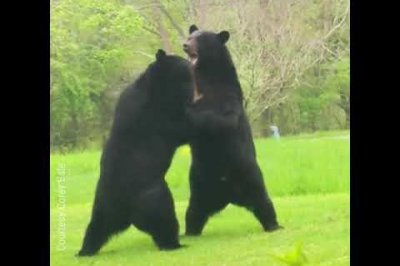 New Jersey man records bears fighting in front yard