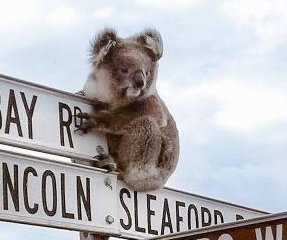 Koala perches atop sign to greet tourists in South Australia