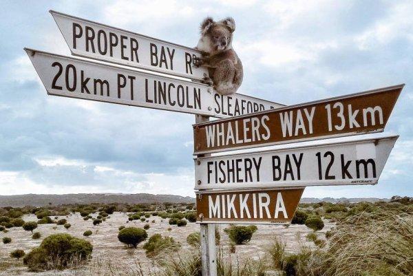 Look tour group finds koala perched atop sign upi m4hsunfo