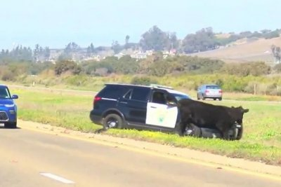 Loose cow causes traffic delays on California highway