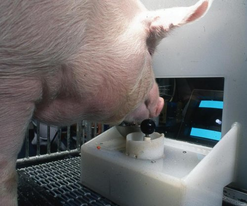 Scientists teach pigs to play video game, showing behavioral, mental flexibility