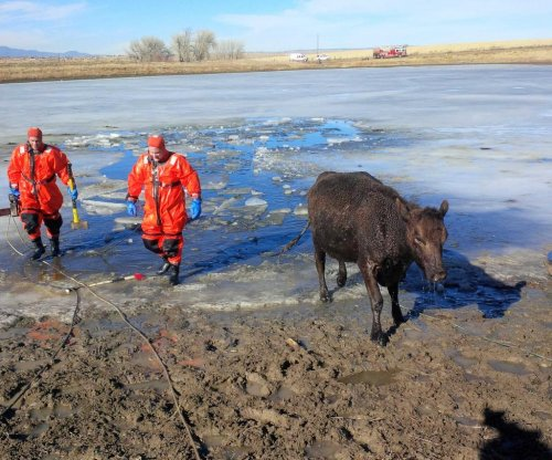Firefighters rescue cows from frozen pond