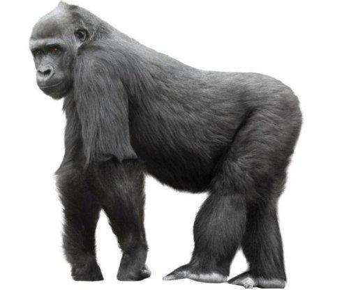 Analysis: Critically endangered gorillas can contract mono-like virus