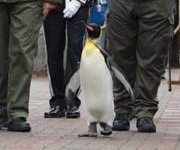 Norwegian King's Guard promotes king penguin to brigadier at Scottish zoo