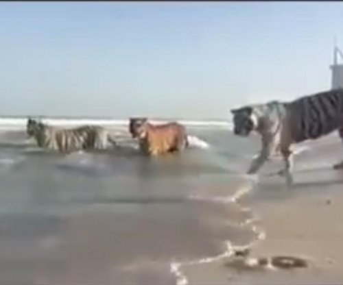Five tigers play in the waves at beach in Dubai