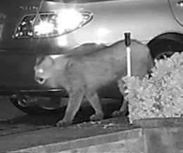 Mountain lion strolls through California neighborhood