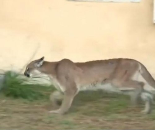Mountain lion found napping in California resident's back yard