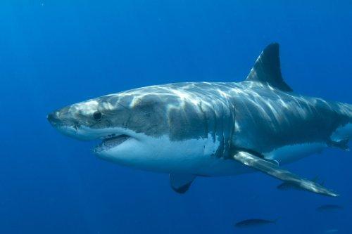 Great white shark population booming