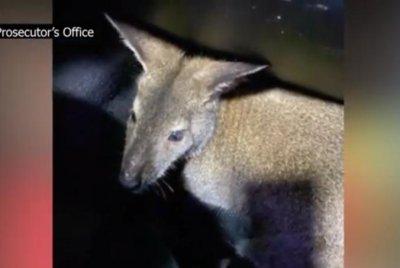 Missouri trooper captures loose kangaroo on rural road