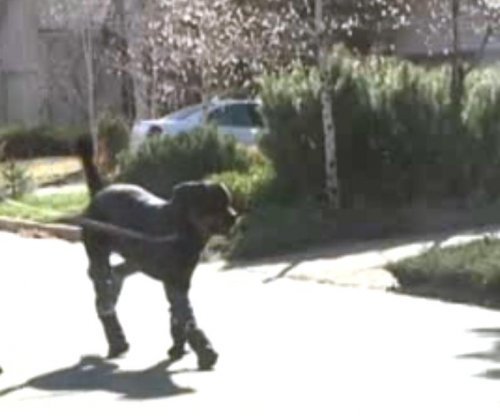 Brutus, quadruple amputee dog, walks on prosthetic limbs