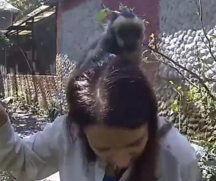Monkey styles volunteer's hair at wildlife refuge