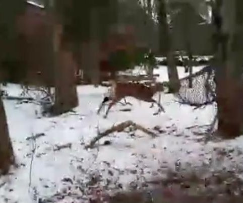 Massachusetts animal control frees deer from hammock