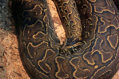 Spread of Burmese pythons in Florida worries wildlife officials