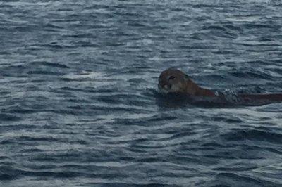Fisherman encounters mountain lion swimming in California lake