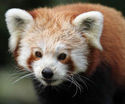 Red panda escapes enclosure at British zoo