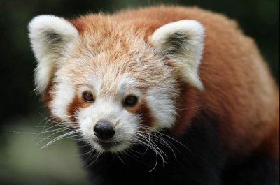 Red panda escapes enclosure at British zoo