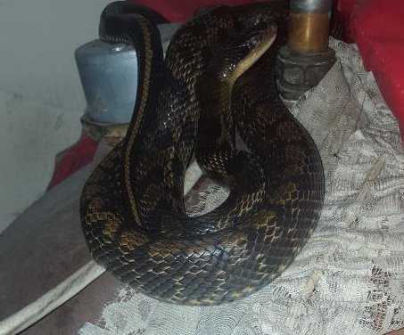 Welsh man finds exotic snake coiled around boiler
