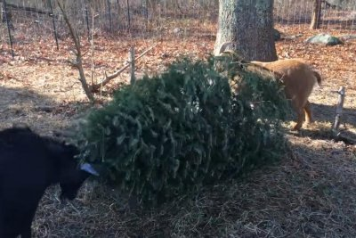Rhode Island couple 'upcycle' Christmas trees as goat food