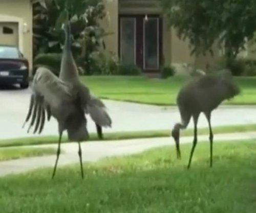 Cranes appear to dance in sync with Ed Sheeran song