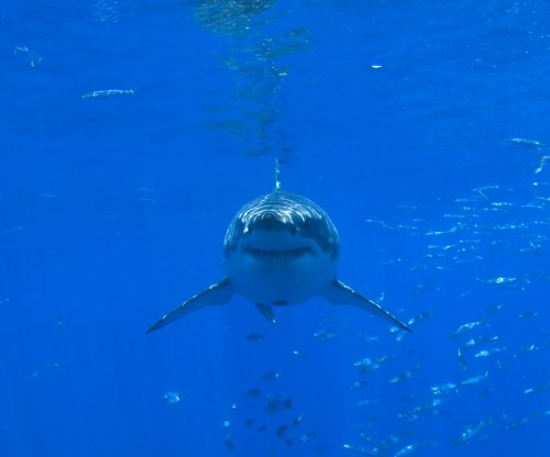 Researchers use eDNA to detect great white sharks